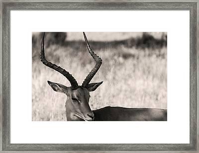 Gazella Framed Print