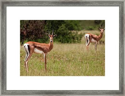 Gazelles Framed Print