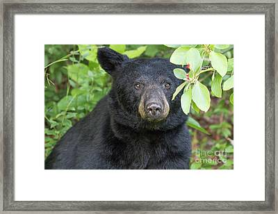 Gazing Black Bear Framed Print