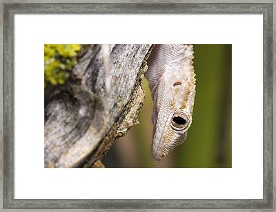 Geecko Framed Print by Andre Goncalves