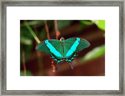 Geen Blue Butterfly Framed Print by Don  Wright