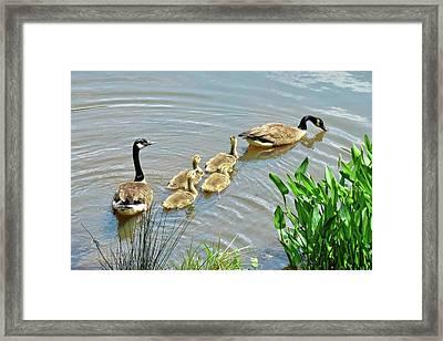 Geese And Goslings Framed Print