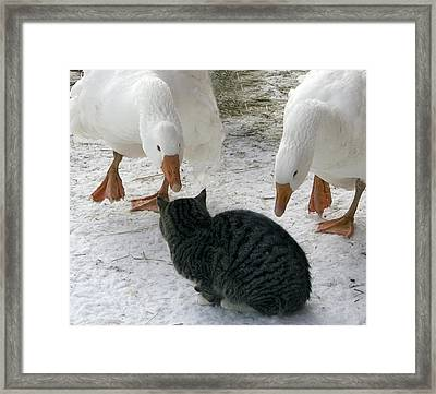Geese Double Team The Barn Cat Framed Print by Laurie With
