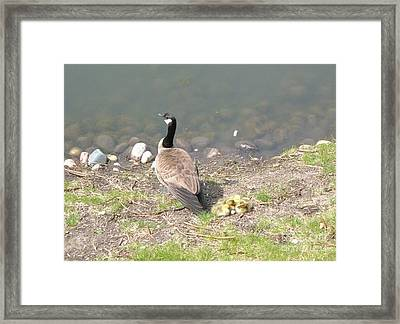 Geese Family Framed Print by DebiJeen Pencils