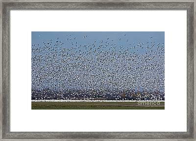 Geese Galore.. Framed Print by Nina Stavlund