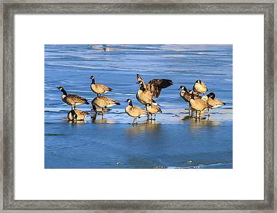 Geese On Ice Framed Print by Juli Ellen