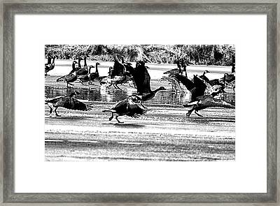 Geese On Ice Taking Flight Framed Print by Bill Cannon