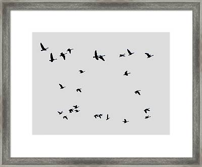 Geese Taking Off Framed Print by Richard Singleton