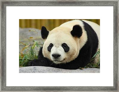 Gentle Giant - Giant Panda - Ailuropoda Melanoleuca Framed Print by Spencer Bush
