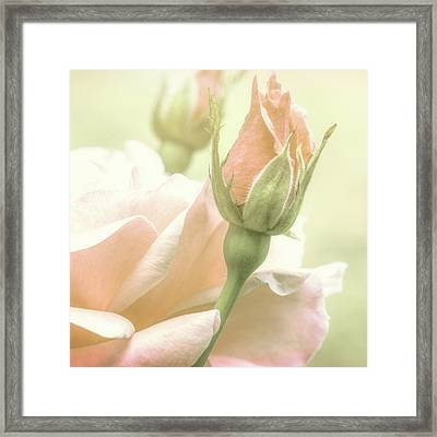 Gentle Roses Framed Print by Bob Orsillo