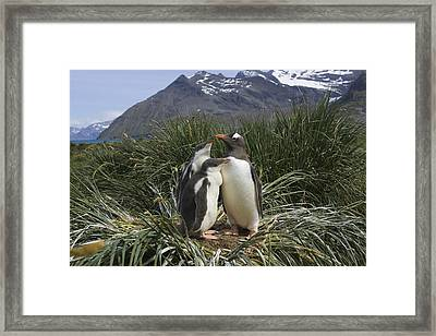 Gentoo Penguin And Young Chicks Framed Print by Suzi Eszterhas