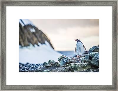 Gentoo Penguin On Barrientos Island - Antarctica Photograph Framed Print