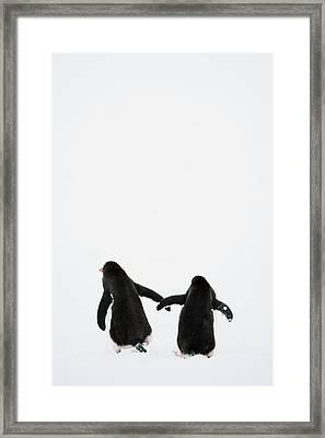 Gentoo Penguin (pygoscelis Papua) Framed Print
