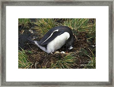 Gentoo Penguin Pygoscelis Papua Framed Print by Gerard Lacz