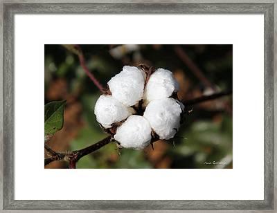 Georgia Cotton Farm Art Framed Print by Reid Callaway