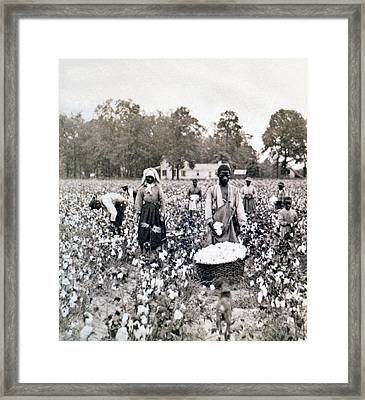 Georgia Cotton Field - C 1898 Framed Print