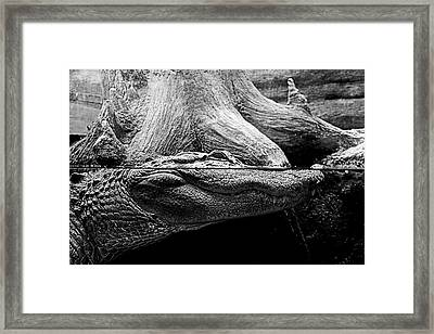 Georgia Gator Framed Print by Dan Wells