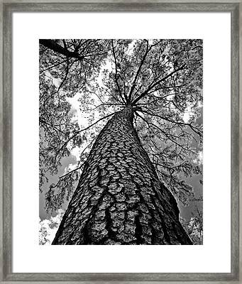 Georgia Pine Framed Print by Dan Wells