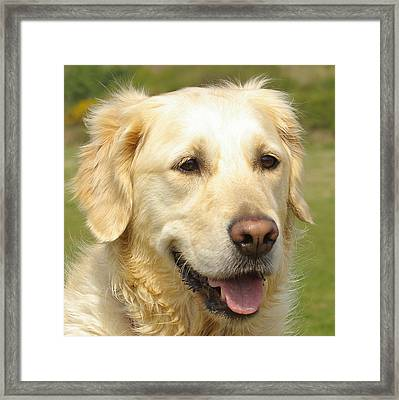 Georgie The Golden Retriever Framed Print by Hilary Burt