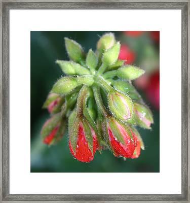 Geranium Buds Framed Print by Nancy TeWinkel Lauren