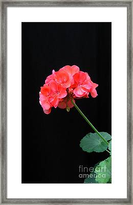 Geranium Framed Print by Linda Vespasian