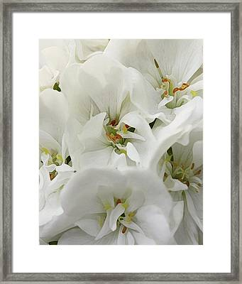 Geranium Wears White Framed Print by Amy Neal