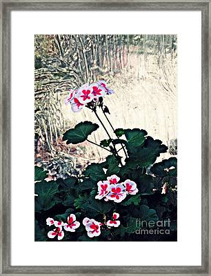 Geraniums And Old Glass  Framed Print by Sarah Loft