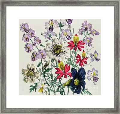 Geraniums Framed Print by Jane Loudon