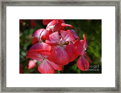 Geraniums Kissed Framed Print by Joy Watson