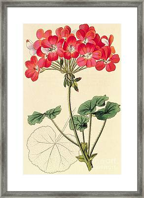 Geraniums Framed Print by Leopold Trattinick
