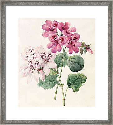 Geraniums Framed Print by Louise D'Orleans