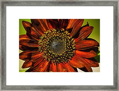 Gerber Daisy Full On Framed Print