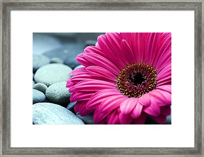 Gerber Daisy In Pebbles Framed Print by Helen Stapleton