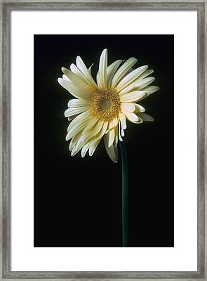 Gerber Daisy Framed Print by Laurie Paci