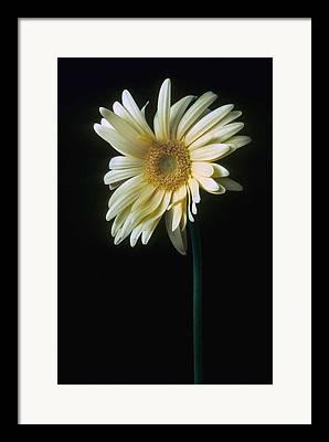 Gerber Daisy Framed Prints