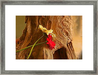 Gerber Daisy On Driftwod Framed Print