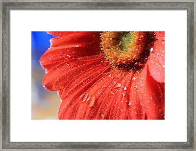 Gerbera Daisy After The Rain Framed Print