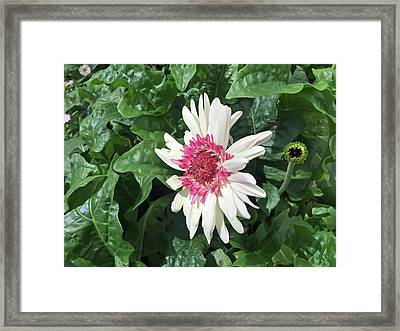 Gerbera Daisy And Bud Framed Print by Aimee L Maher Photography and Art Visit ALMGallerydotcom