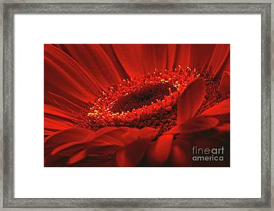 Framed Print featuring the photograph Gerbera Daisy In Red by Sharon Talson