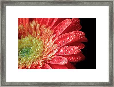 Framed Print featuring the photograph Gerbera Daisy Macro by Angela Murdock