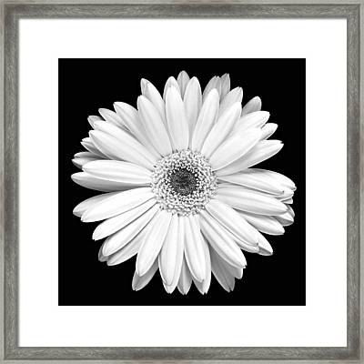 Single Gerbera Daisy Framed Print by Marilyn Hunt