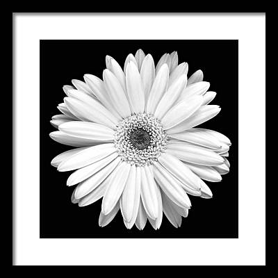 Gerbera Framed Prints