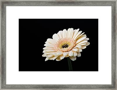 Gerbera Daisy On Black II Framed Print