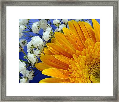 Gerbera Daisy With Babies Breath Framed Print by Laura Mountainspring