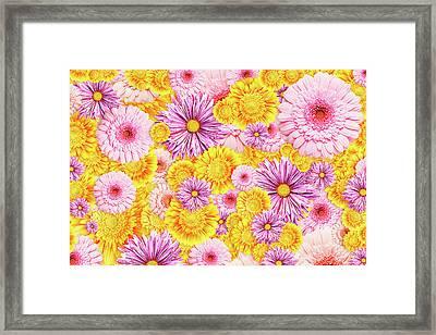 Gerbera Flowers Framed Print
