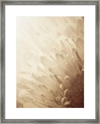 Gerbera Sepia Framed Print
