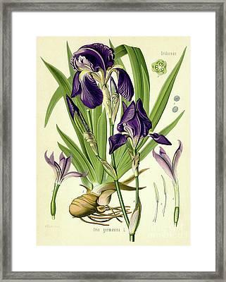 German Iris Framed Print