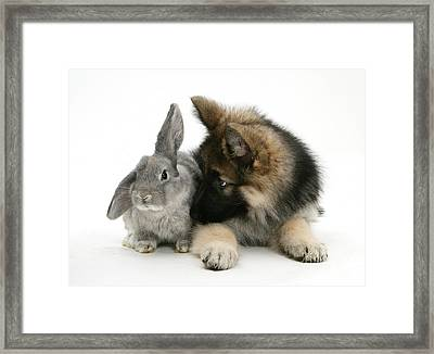German Shepherd And Rabbit Framed Print by Mark Taylor