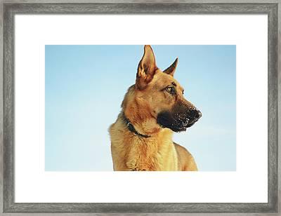 German Shepherd Framed Print by Cco