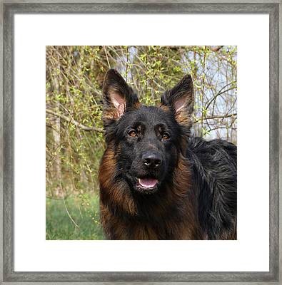 Framed Print featuring the photograph German Shepherd Close Up by Sandy Keeton